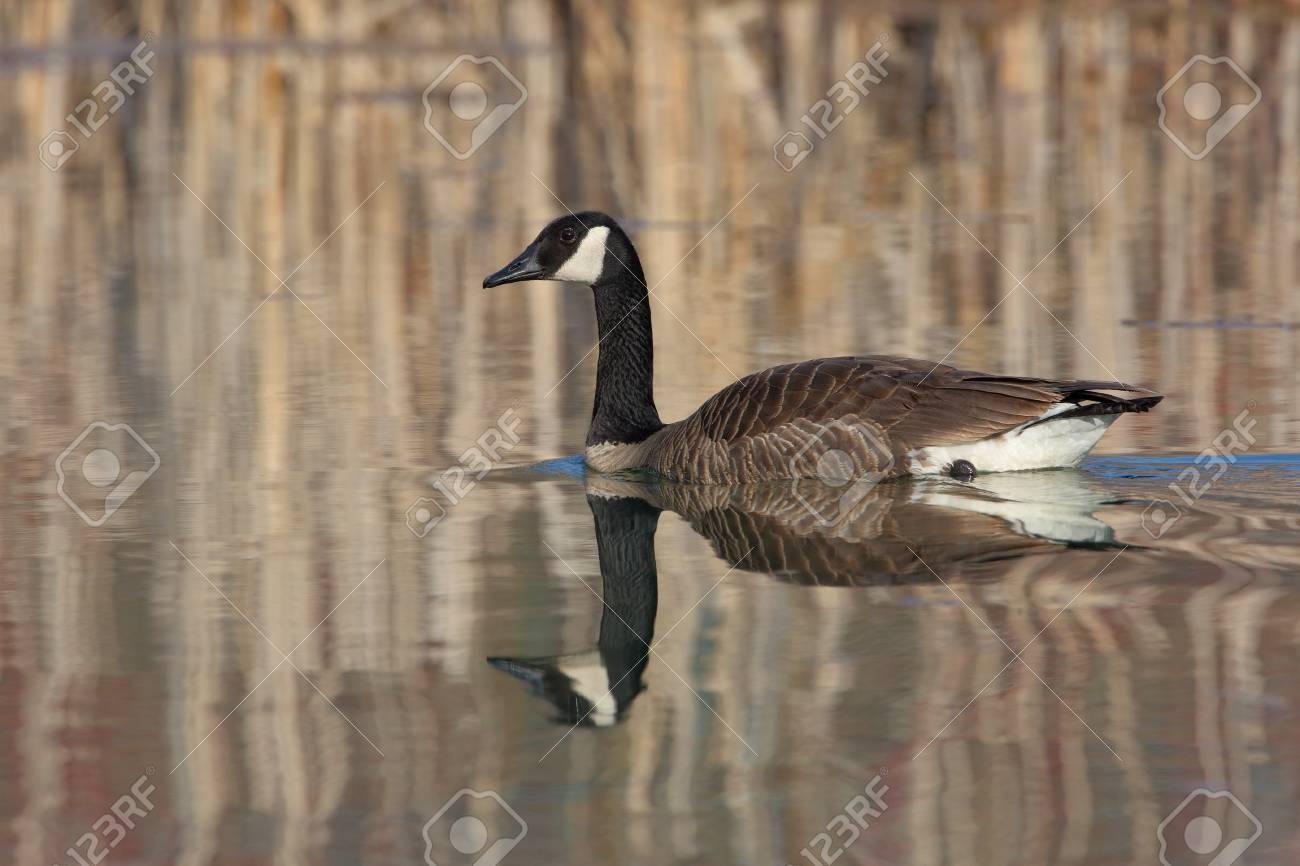canada goose branta