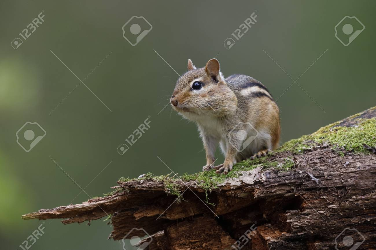 Eastern Chipmunk (Tamias striatus) - with its cheek pouches full of food sits on a mossy log - Lambton Shores, Ontario, Canada - 101767373