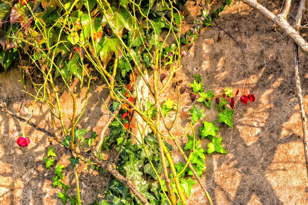 Red, Green And Orange Leaves Of A Japanese Creeper, Parthenocissus ...