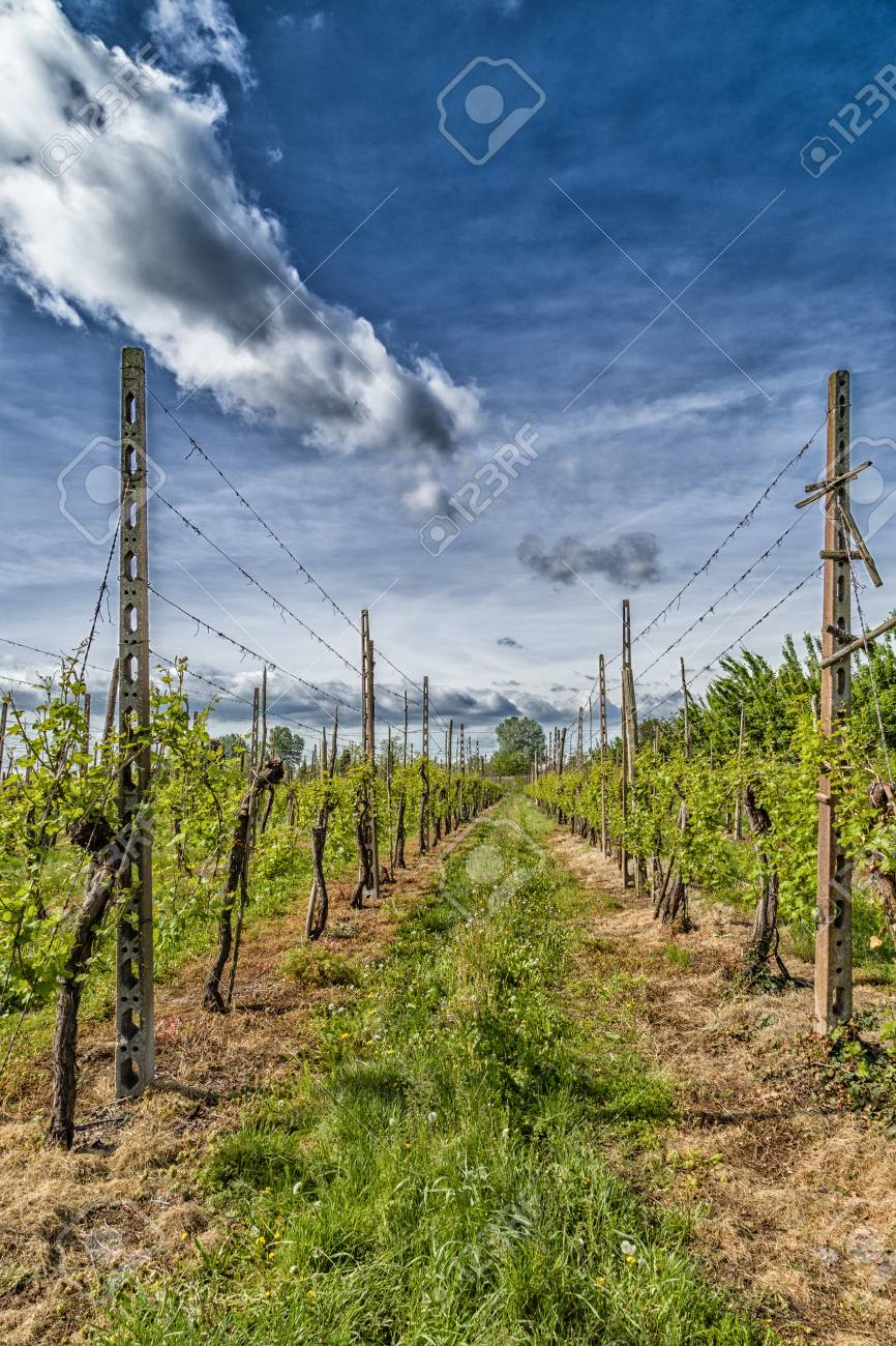 Grüne Weinberge In Der Italienischen Landschaft, In Reihen ...