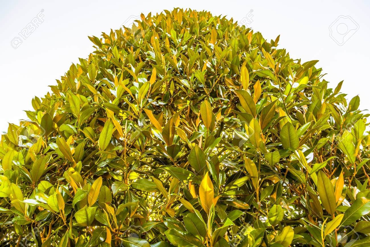 The Green Leaves Of A Magnolia Tree Pointing To Heaven Stock Photo