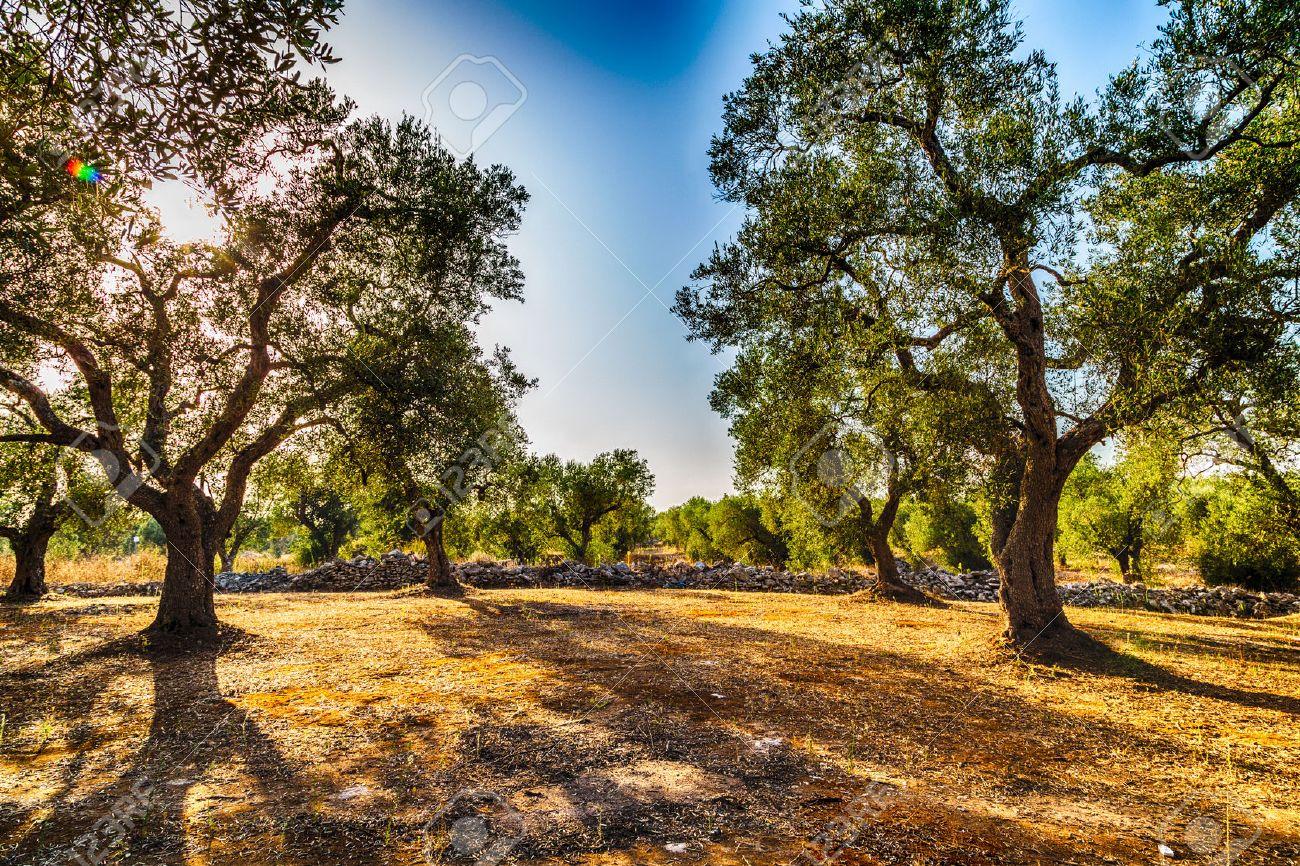 Grove of olive trees in Salento in Puglia in Italy - 47455926