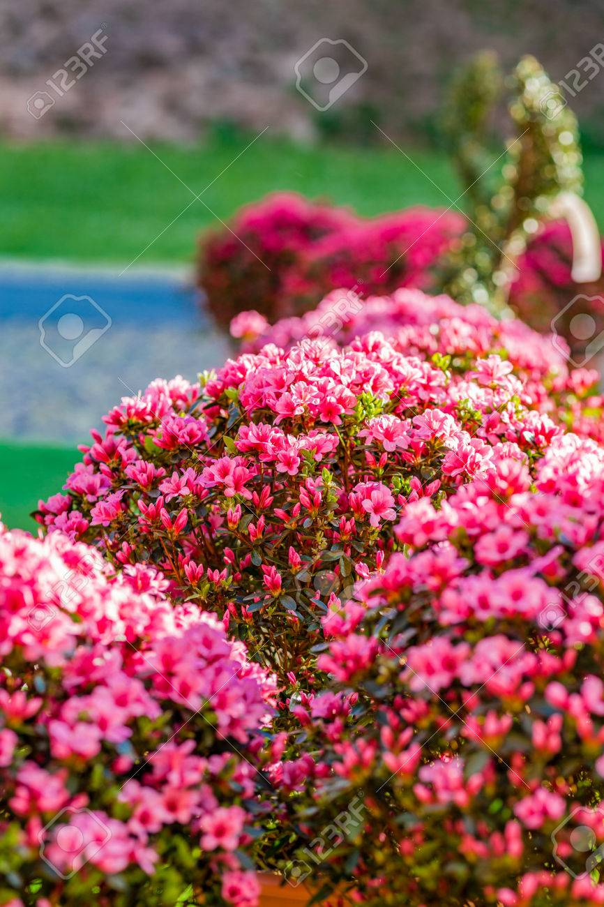 Bushes Of Fuchsia And Pink Flowers With Green Leaves Stock Photo