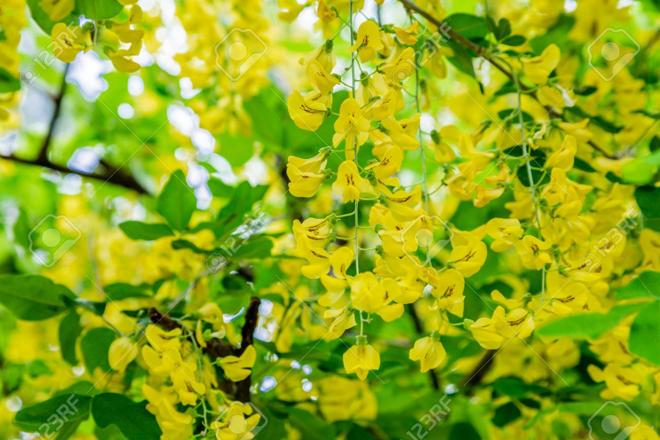 Yellow Flowers Of A Laburnum In Full Spring Bloom Stock Photo