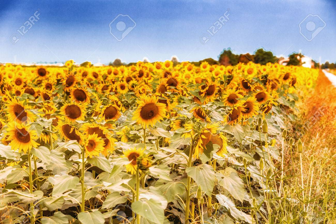 Field Of Sunflowers Along A Country Dirt Road Painting Colors Stock Photo Picture And Royalty Free Image Image 65980702