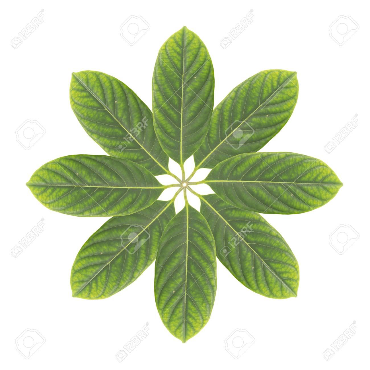 Fleur Verte De La Feuille Isole Sur Blanc Banque D Images Et Photos