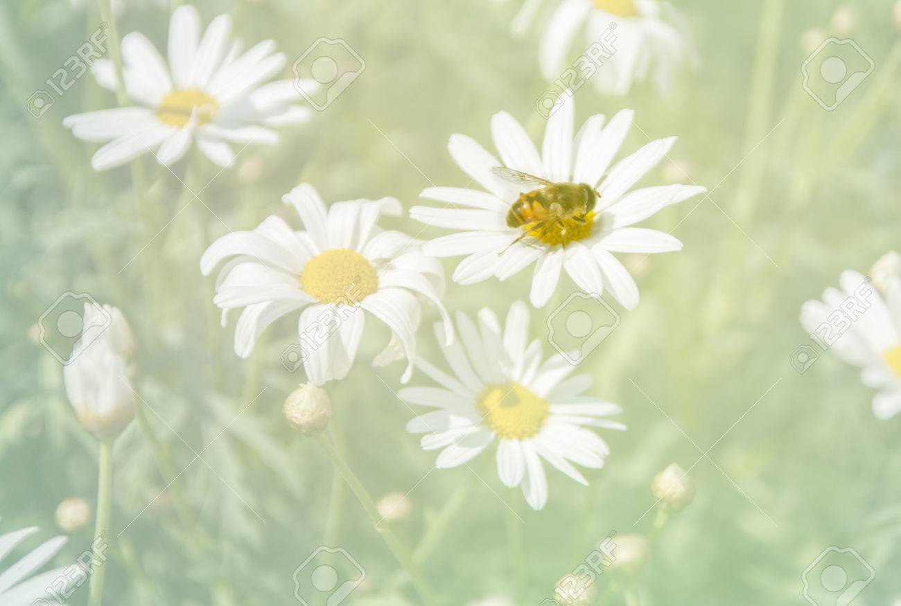 Bee drinking nectar of the daisy flower fade colored background bee drinking nectar of the daisy flower fade colored background stock photo 47262075 izmirmasajfo