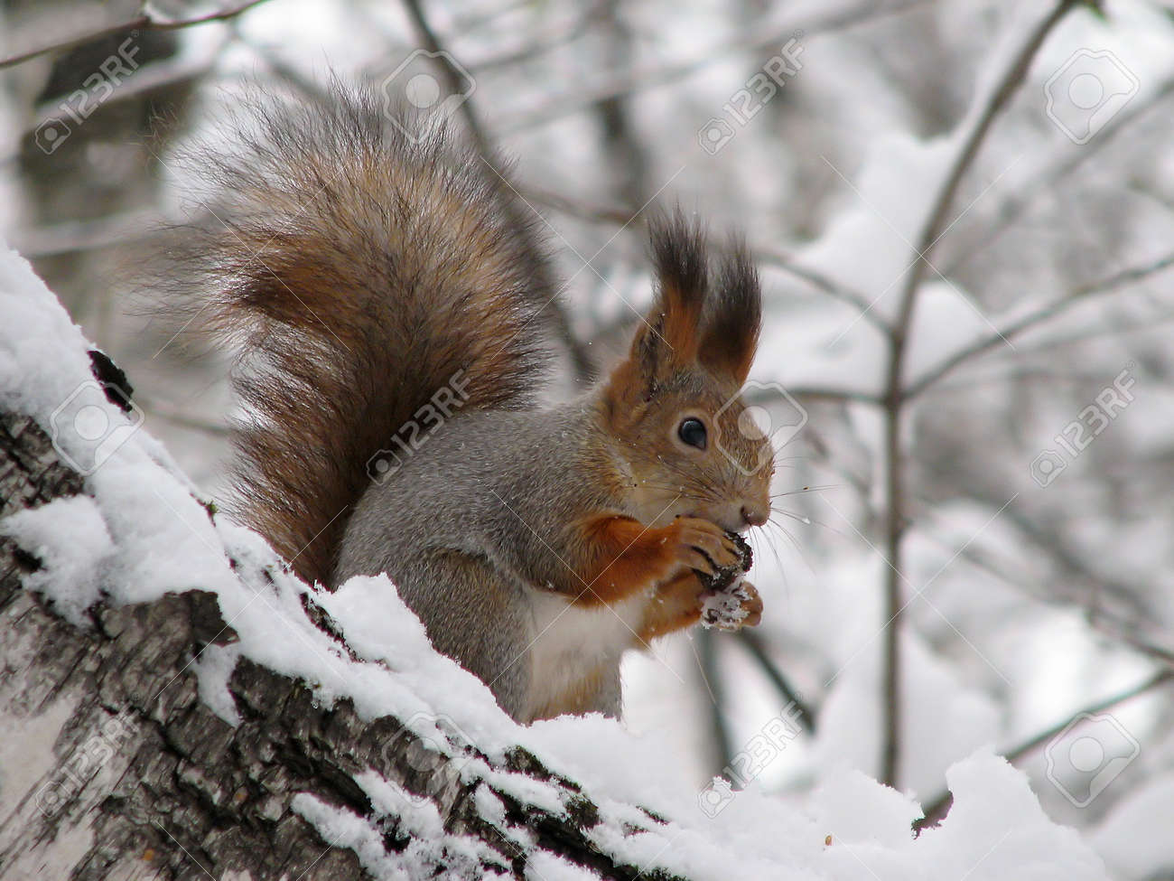 The squirrel sitting on a snow-covered birch Stock Photo - 1646626