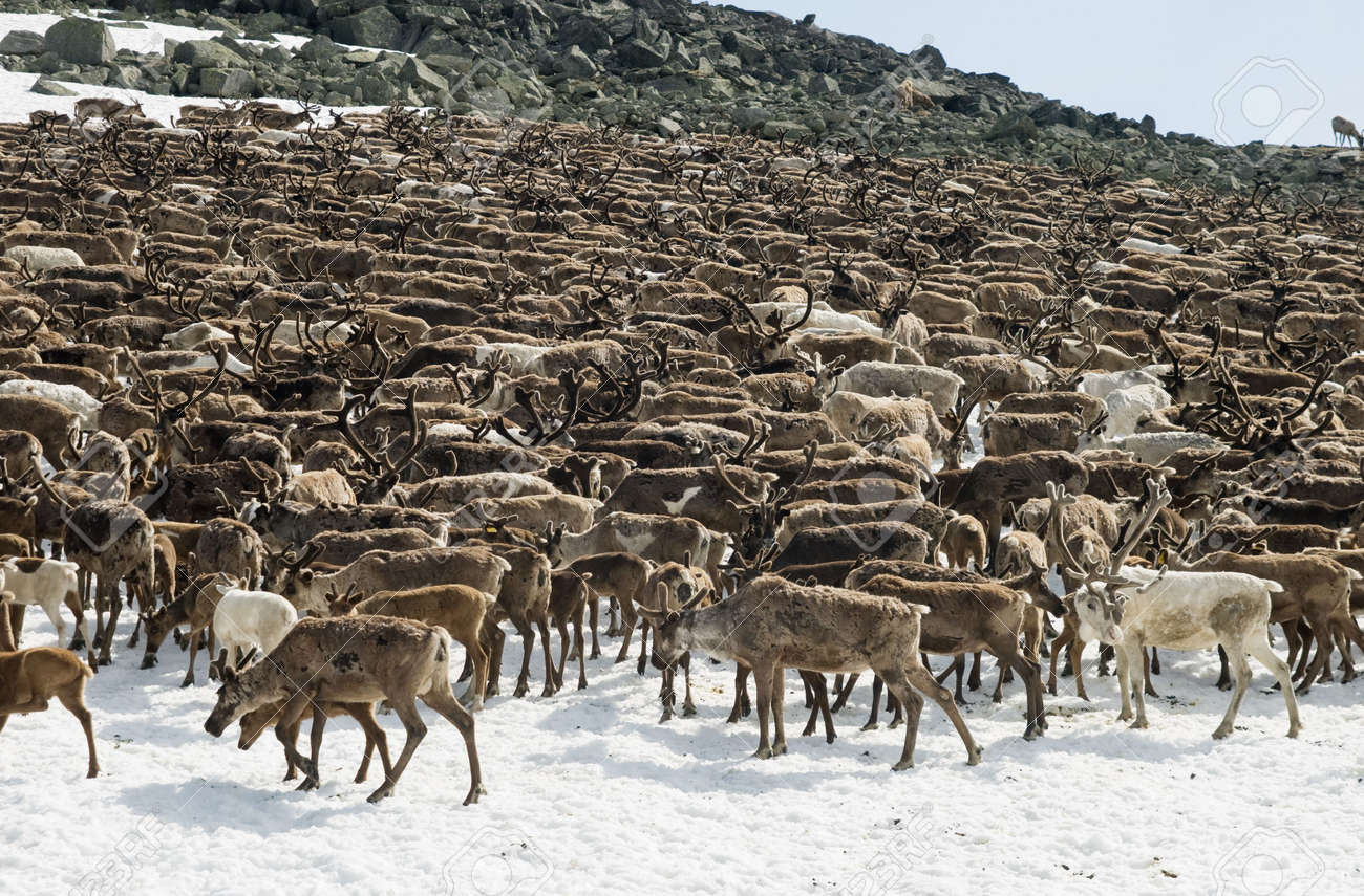 Herd of reindeers pasturing on a snow patch in Ural mountains Stock Photo - 6079664
