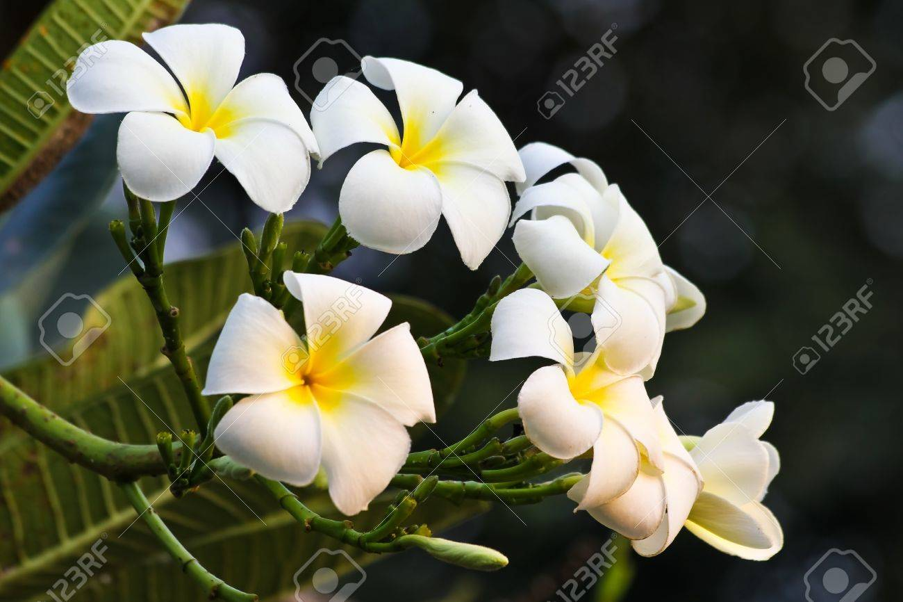 Plumeria flower white color stock photo picture and royalty free plumeria flower white color stock photo 8472387 mightylinksfo