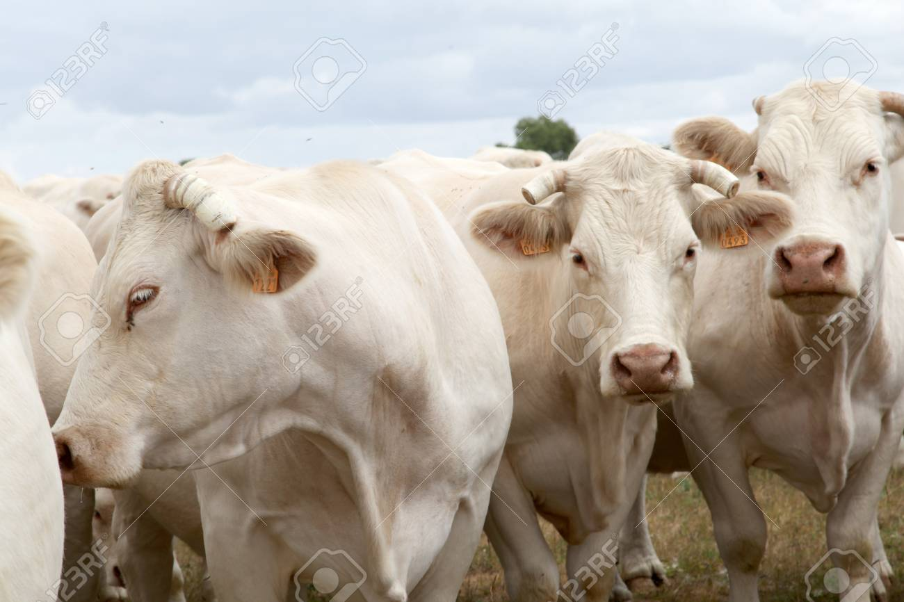 Cattle in country field Stock Photo - 9785355