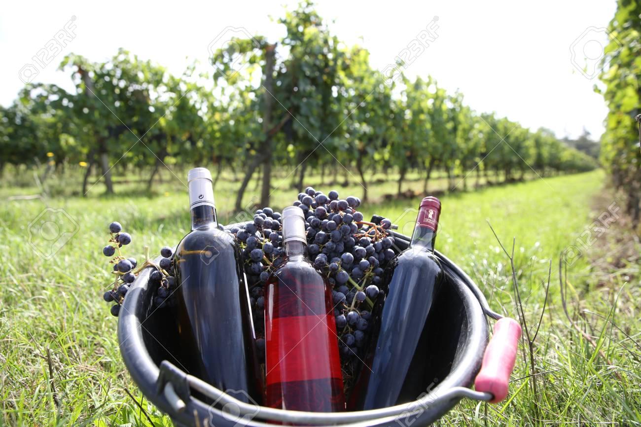 Bucket with wine bottles set in vineyard Stock Photo - 22559518