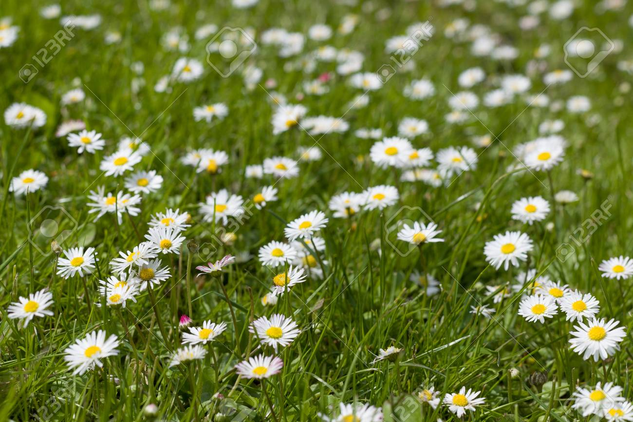 Beautiful Blooming Daisy Field Spring Easter Flowers Daisy Stock