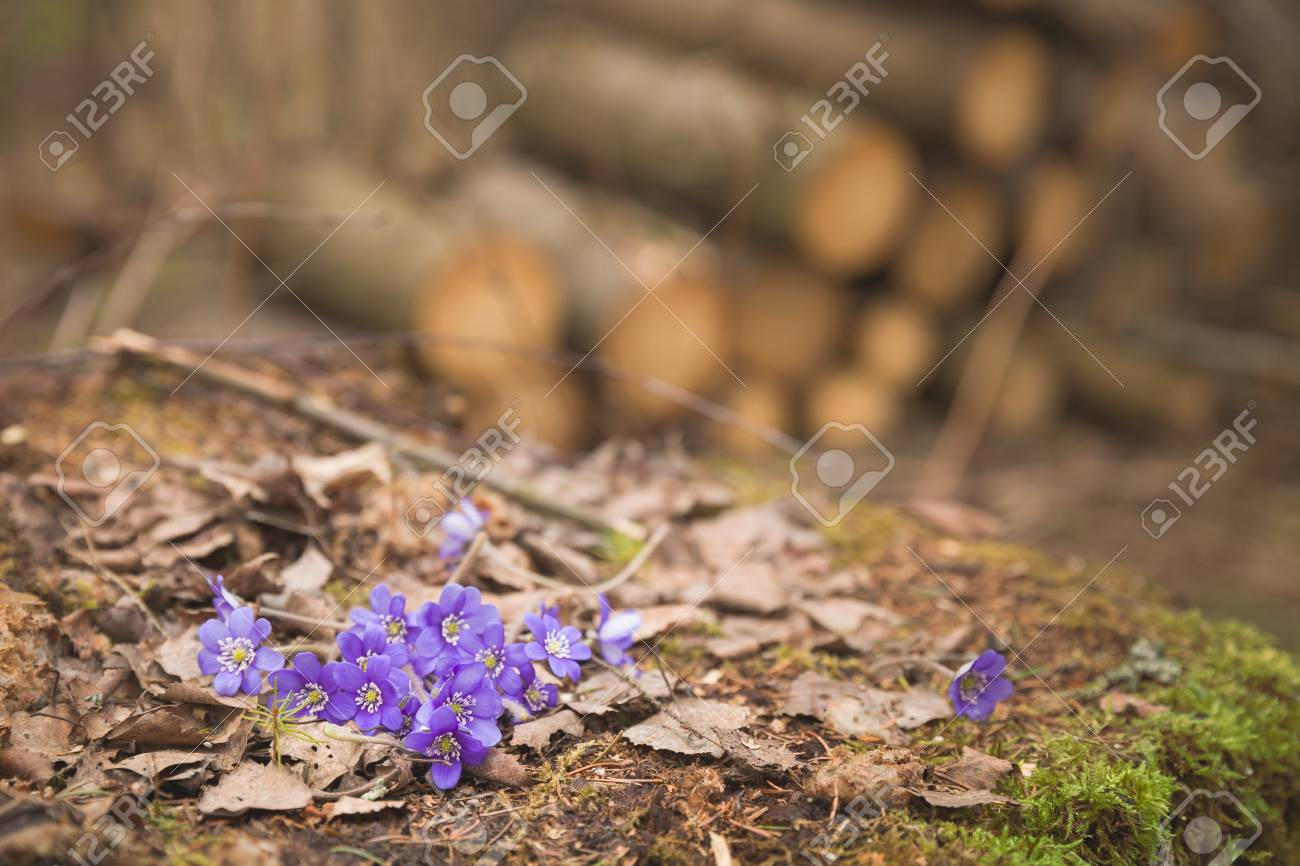 Beautiful Snowdrops On Old Wood Background First Spring Flowers