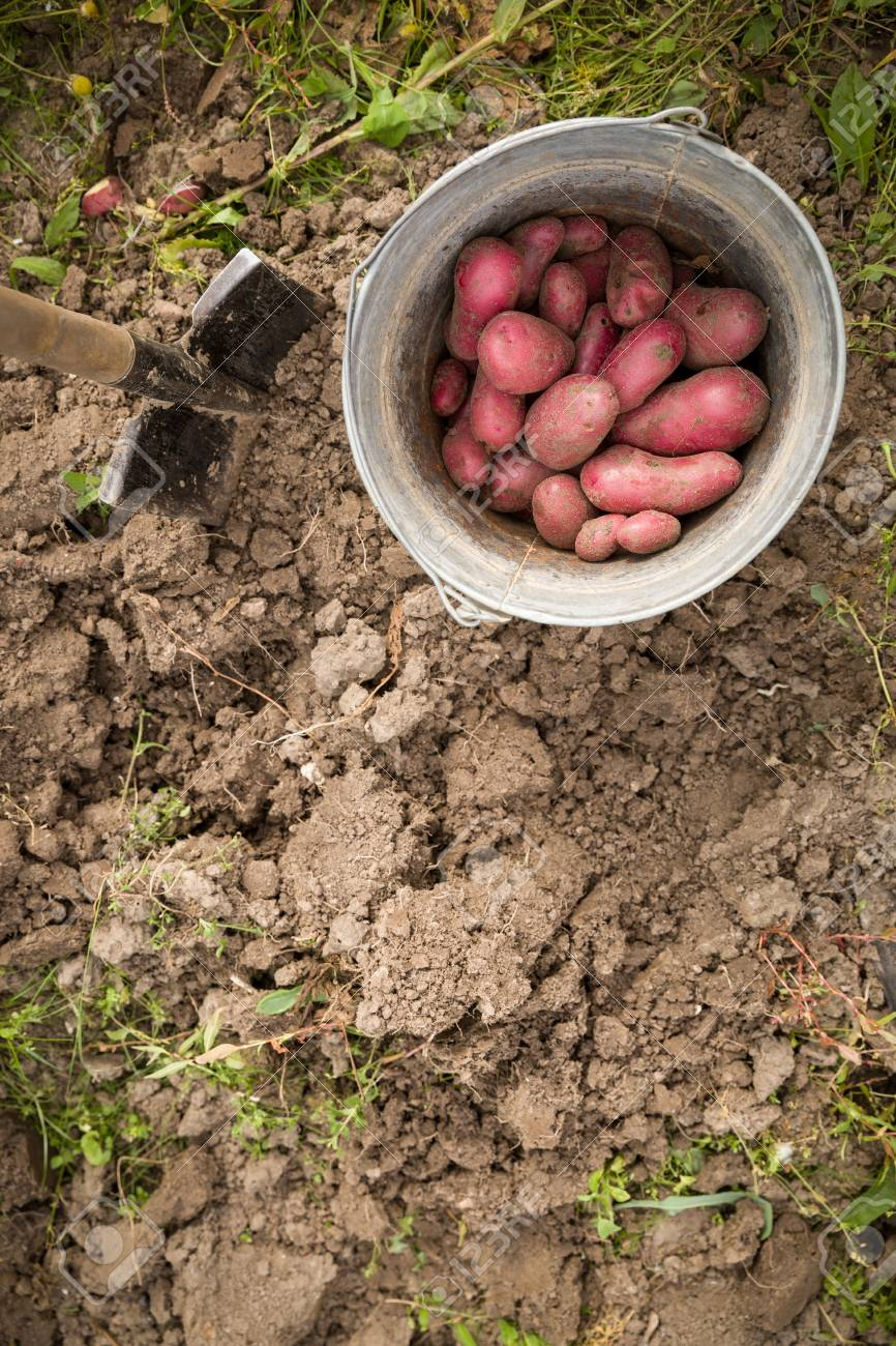 Top View On A Bucket With Red Potatoes In The Garden. Harvest ...