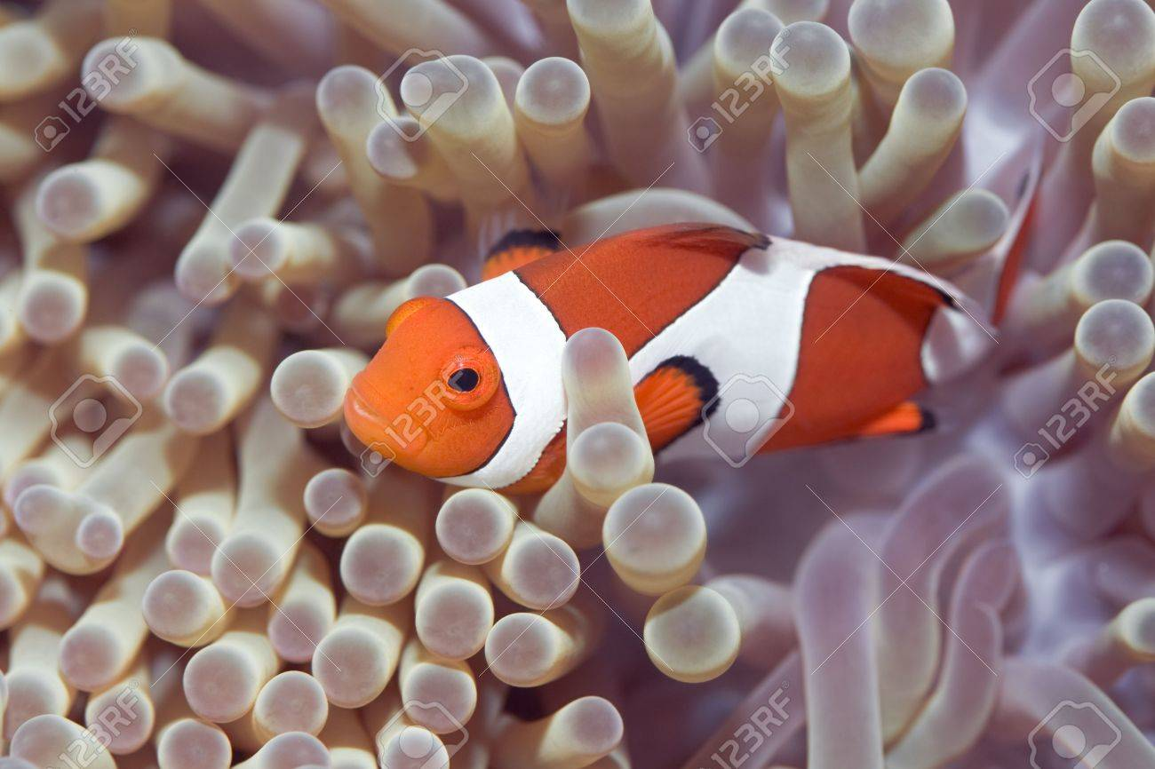 Anemone And Clownfish Close-up. Sipadan. Celebes Sea Stock Photo ...