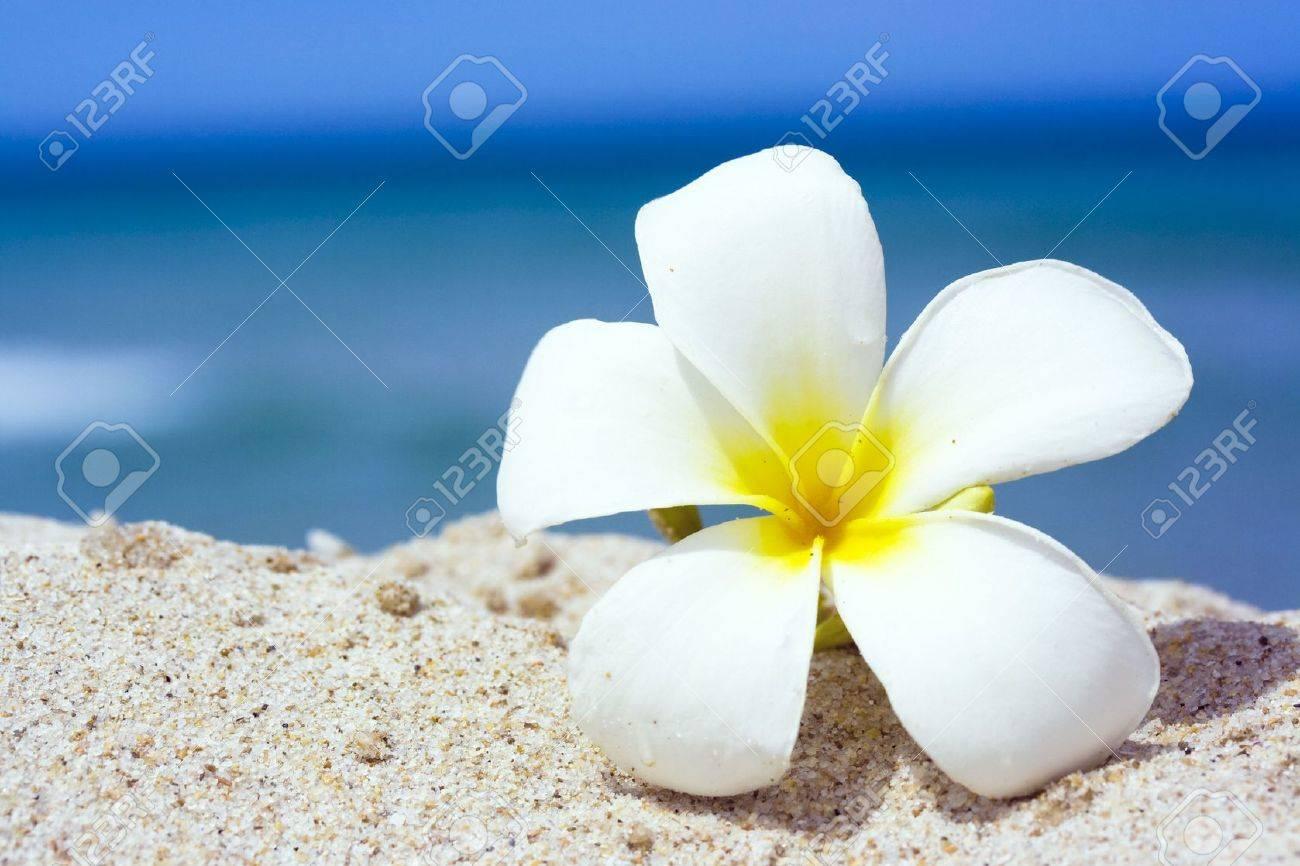 Tropical flower Plumeria alba on the sandy beach - 3180732