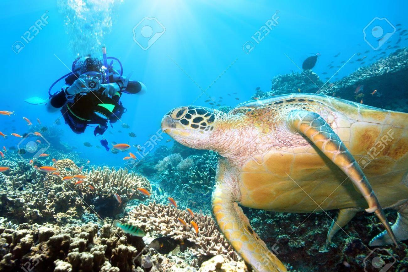 Green turtle underwater and diver. Sipadan. Celebes sea Stock Photo - 4680439