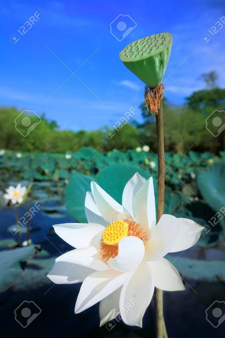 Beaautiful lotus flower in lake at sunny day Stock Photo - 5079887