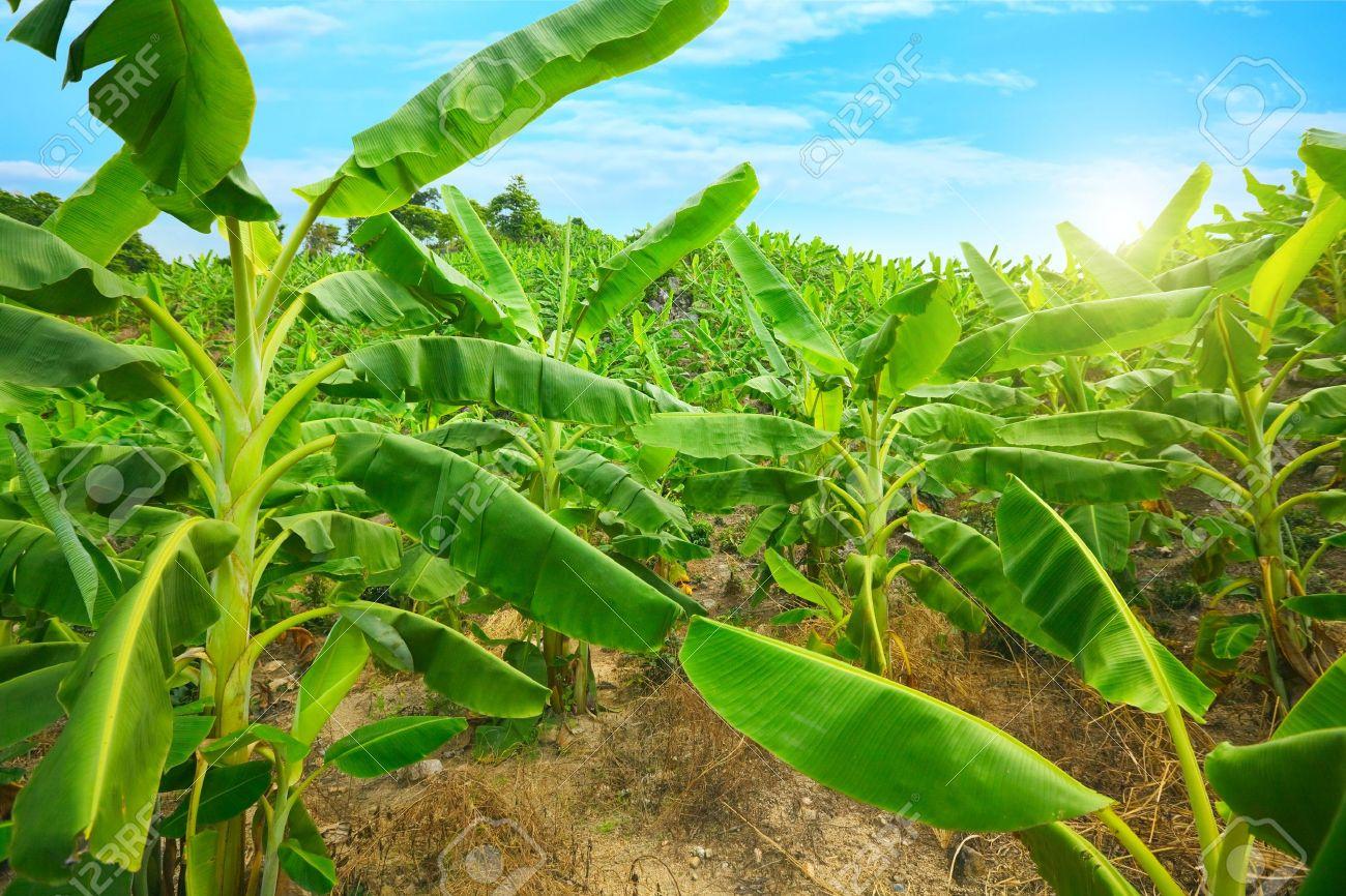Banana plantation. Khanh Hoa province. Vietnam Stock Photo - 5155976