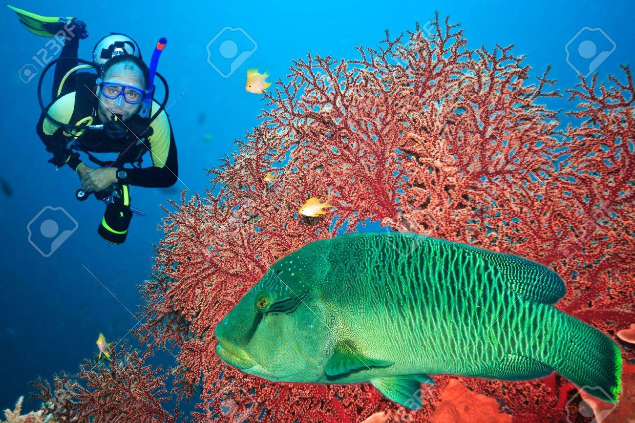 Underwater landscape with scuba diver, gorgonian coral and napoleon Stock Photo - 6191352