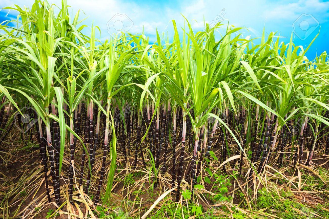Sugar cane plantation. Khanh Hoa province. Vietnam Stock Photo - 7302491