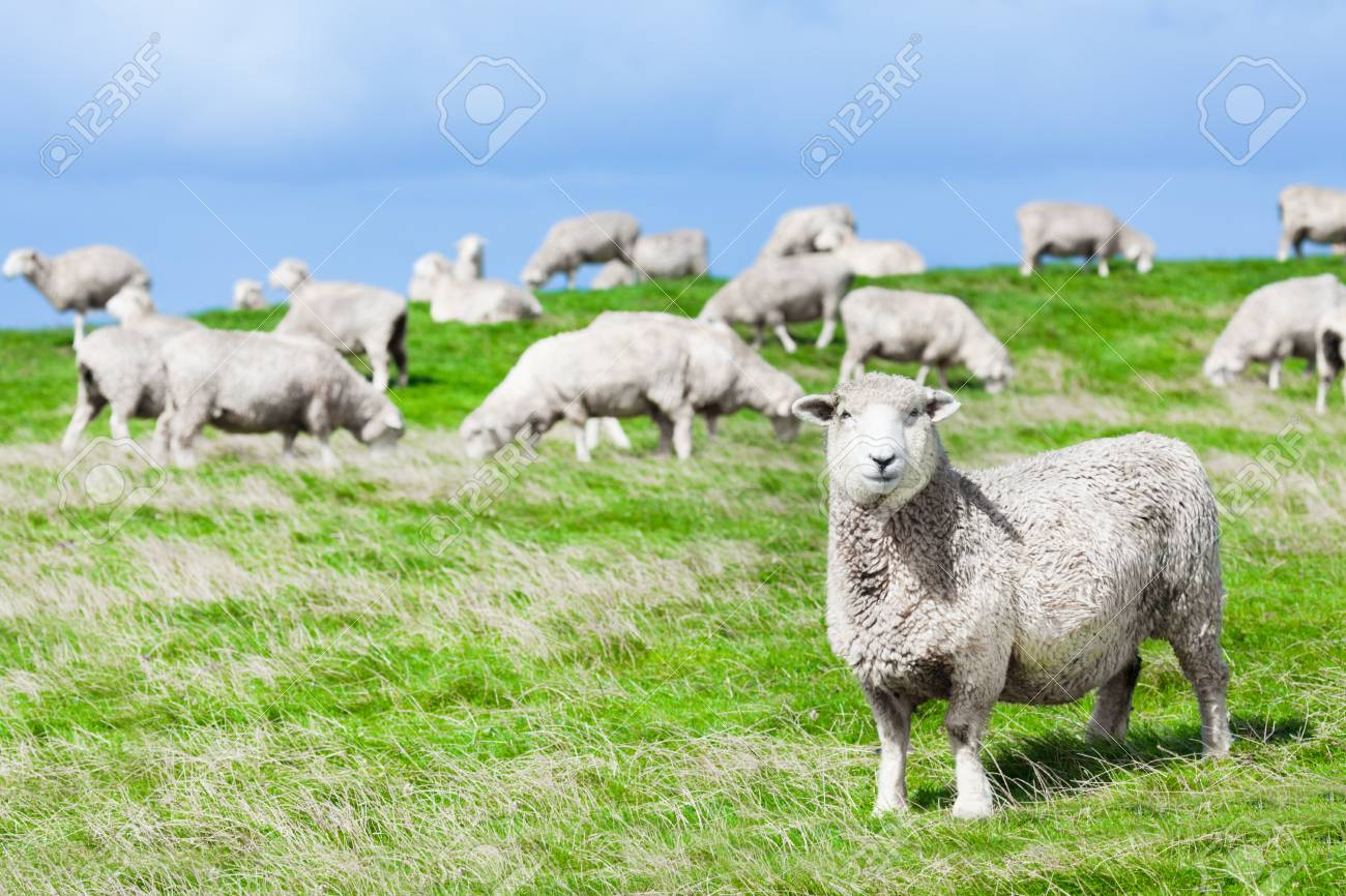 Flock of sheeps on the meadow Stock Photo - 13162556