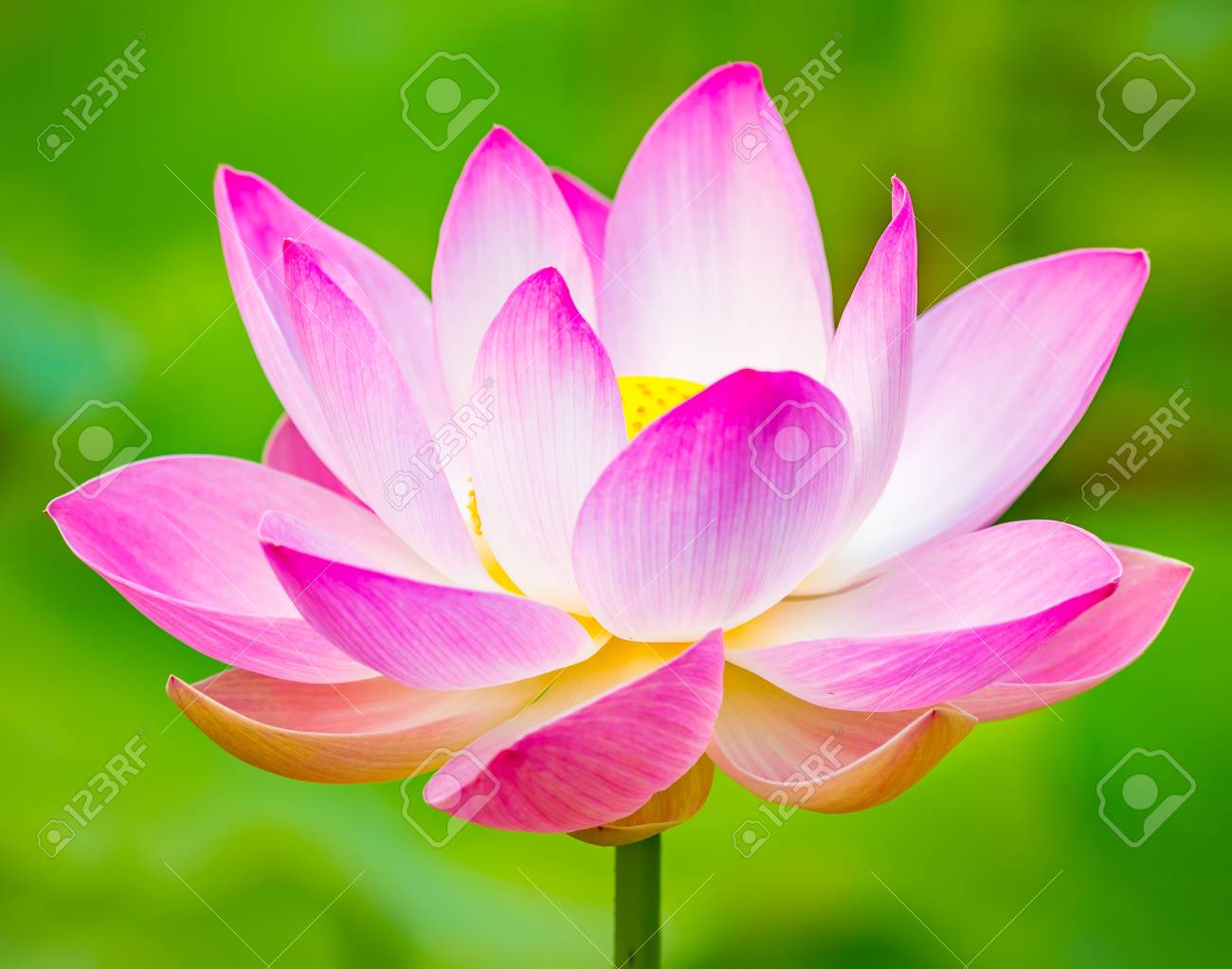 Closeup Photo Of The Lotus Flower Stock Photo Picture And Royalty
