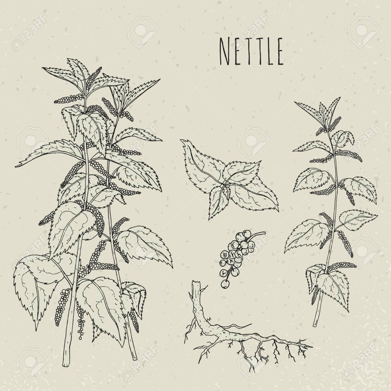 Ilustración Aislada Botánica Médica De La Ortiga. Planta, Hojas ...