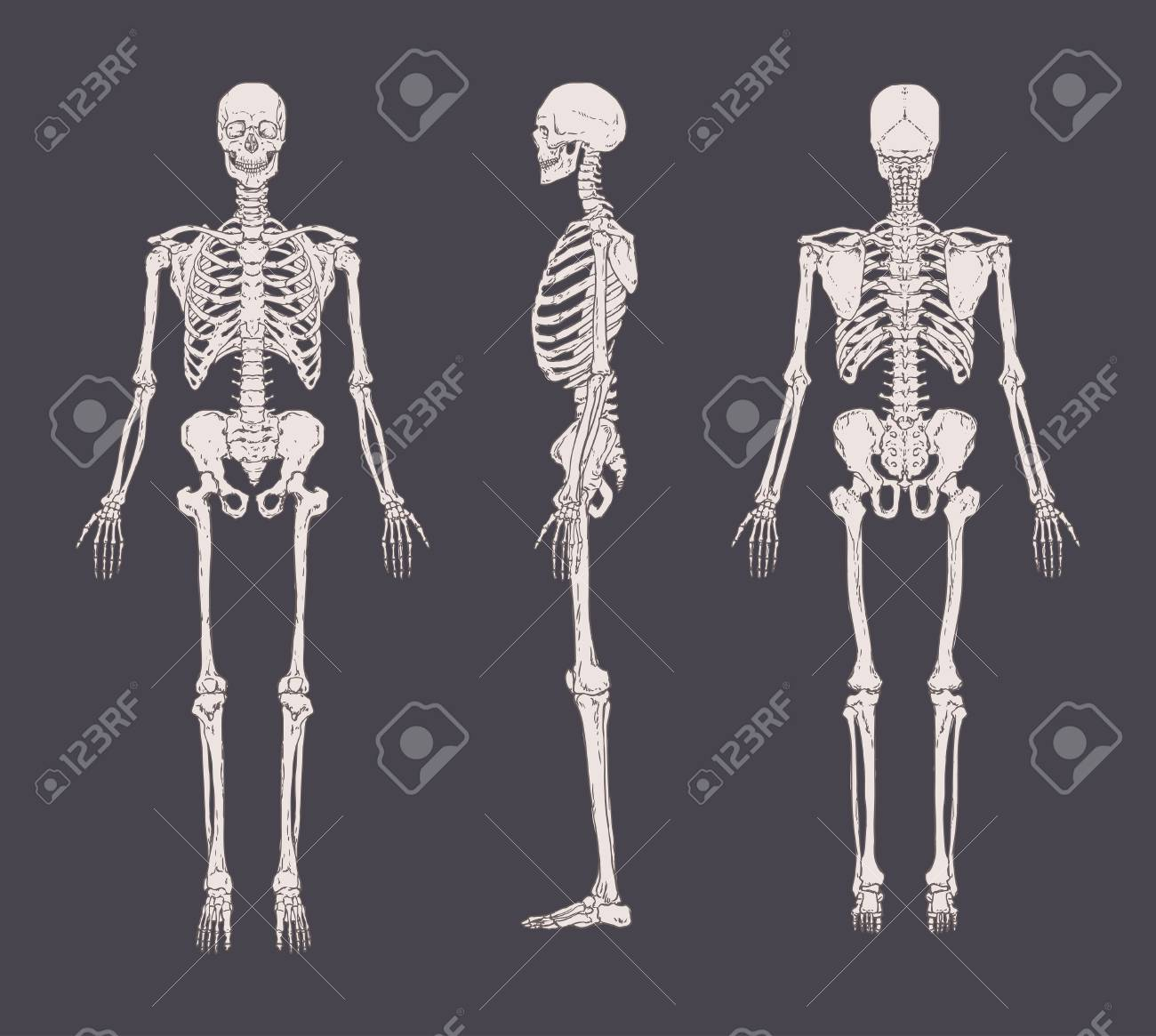 Set of realistic skeletons isolated on gray background. Anterior, lateral and posterior view. - 85204677