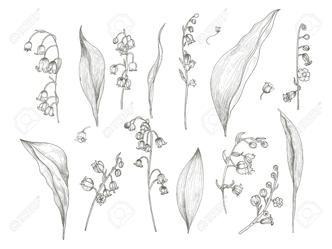 Magnifique Dessin De Muguet Fleur Inflorescence Tige Feuilles