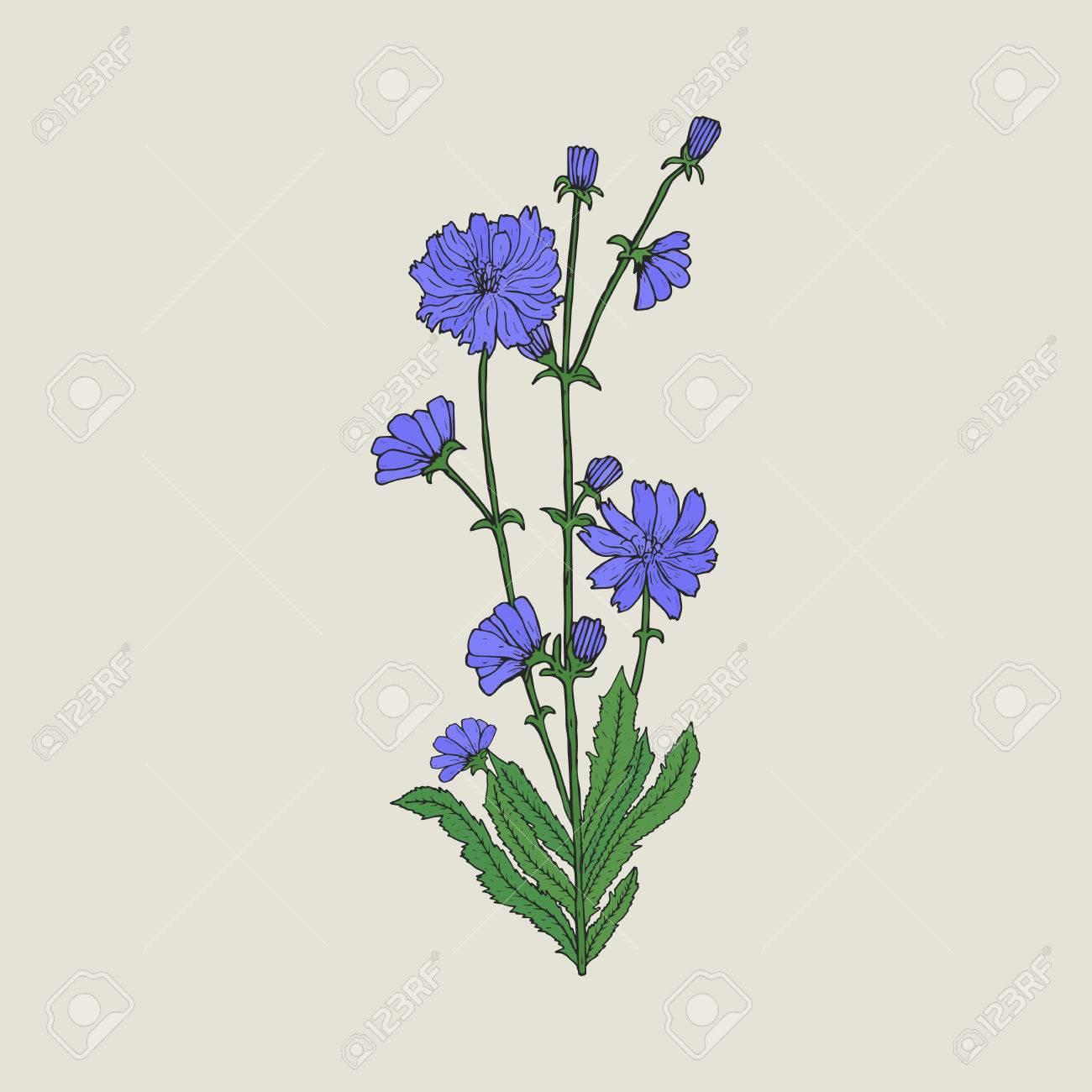 Dibujo Realista Detallado De Achicoria Con Flores Y Hojas Hermosa