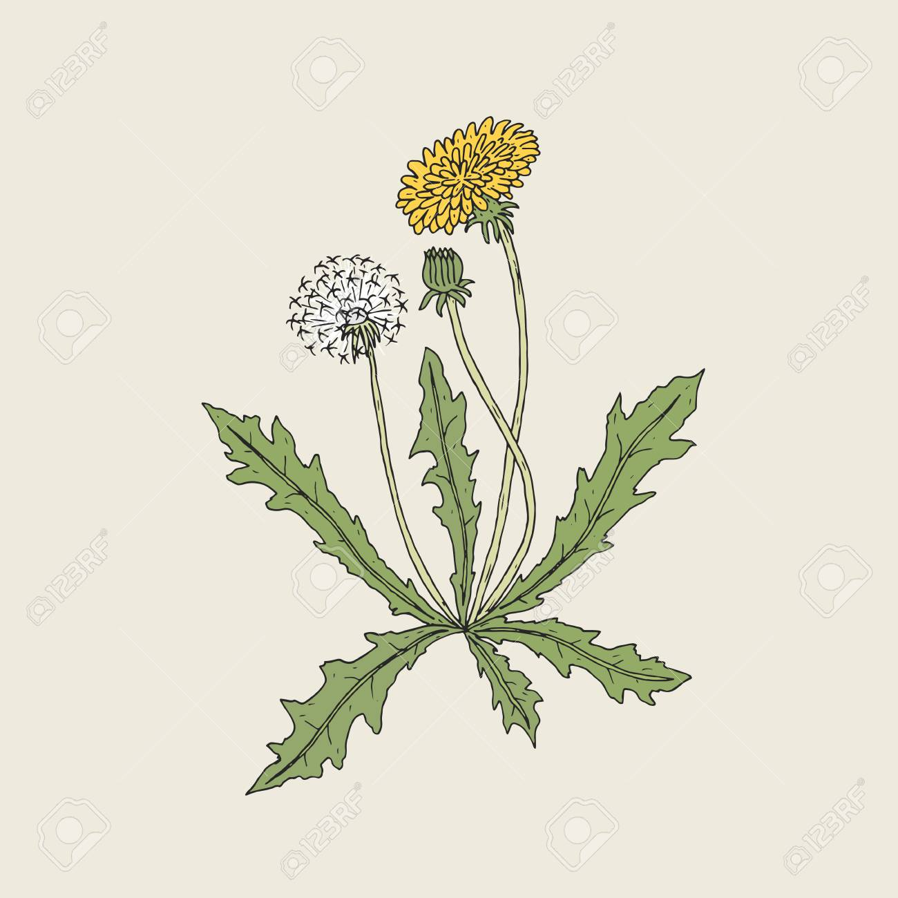 elegant detailed drawing of dandelion plant with yellow flower