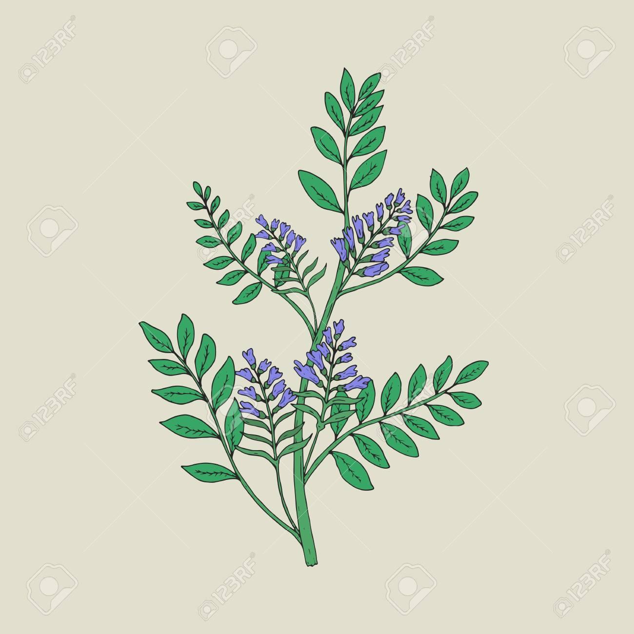 Joli Dessin Botanique De Plante De Réglisse Fleurie Avec Des Inflorescences Et Des Feuilles De Belles Fleurs Dessinées à La Main Dans Un Style
