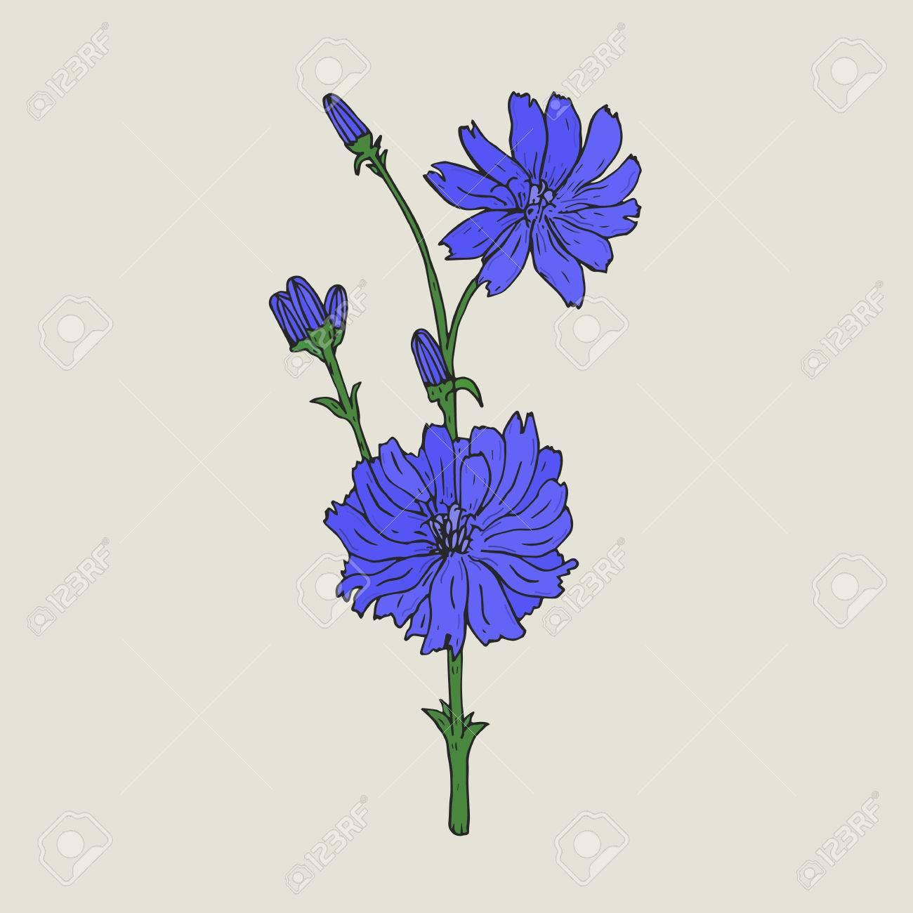 Dibujo Botanico Realista De Achicoria Con Flores Purpuras Y Brotes