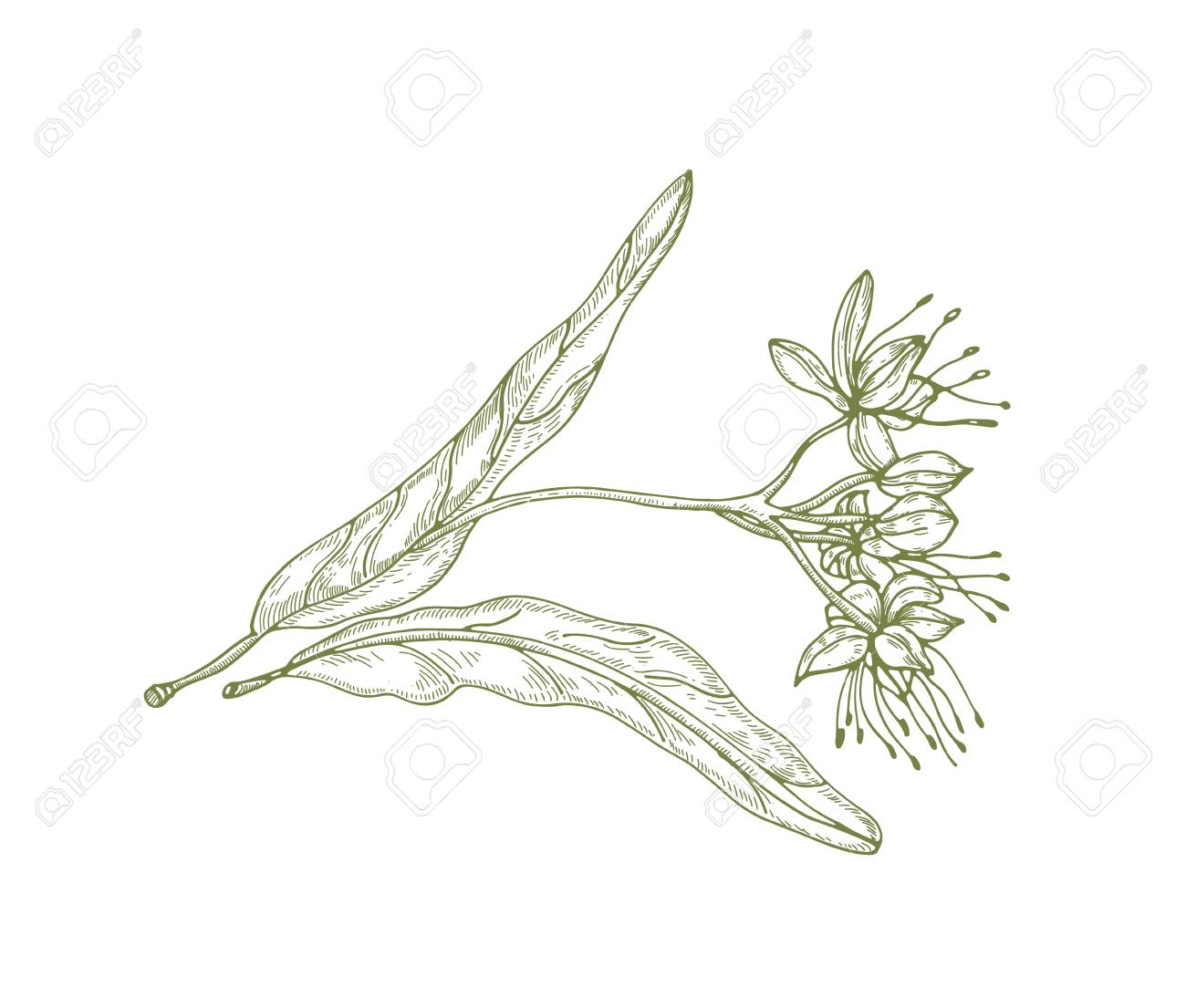 Gorgeous outline drawing of linden leaves and flowers or inflorescence. Beautiful tree part used in phytotherapy drawn with contour lines on white background. Elegant natural vector illustration - 117296062