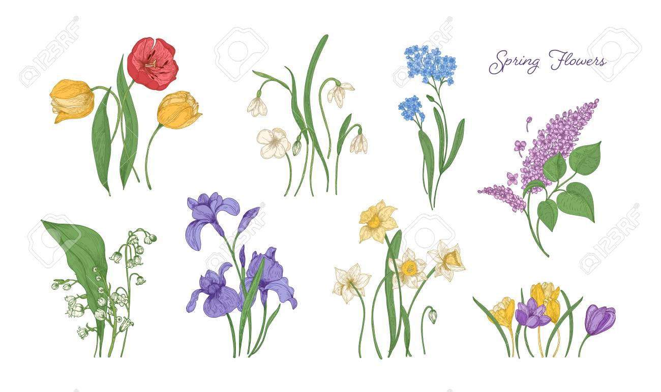Bundle Of Natural Drawings Of Spring Flowers Tulip Lilac Stock Photo Picture And Royalty Free Image Image 112549301