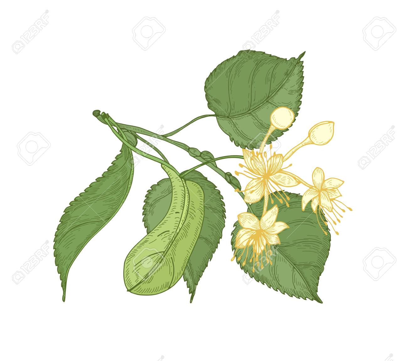 Natural detailed drawing of linden sprig with leaves and beautiful blooming flowers. Gorgeous medicinal plant hand drawn on white background. Decorative design element. Botanical vector illustration - 117296420