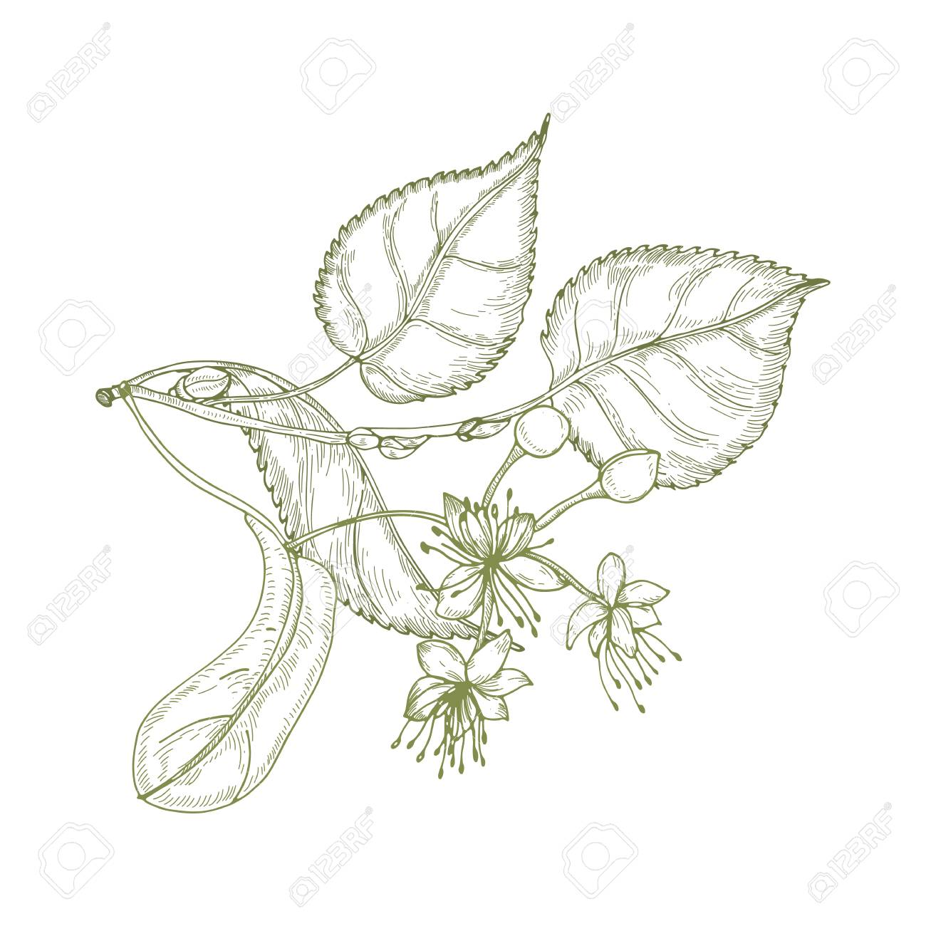 Elegant drawing of linden leaves, beautiful blooming flowers or inflorescence and buds. Plant used in phytotherapy hand drawn with contour lines on white background. Realistic vector illustration - 115162806