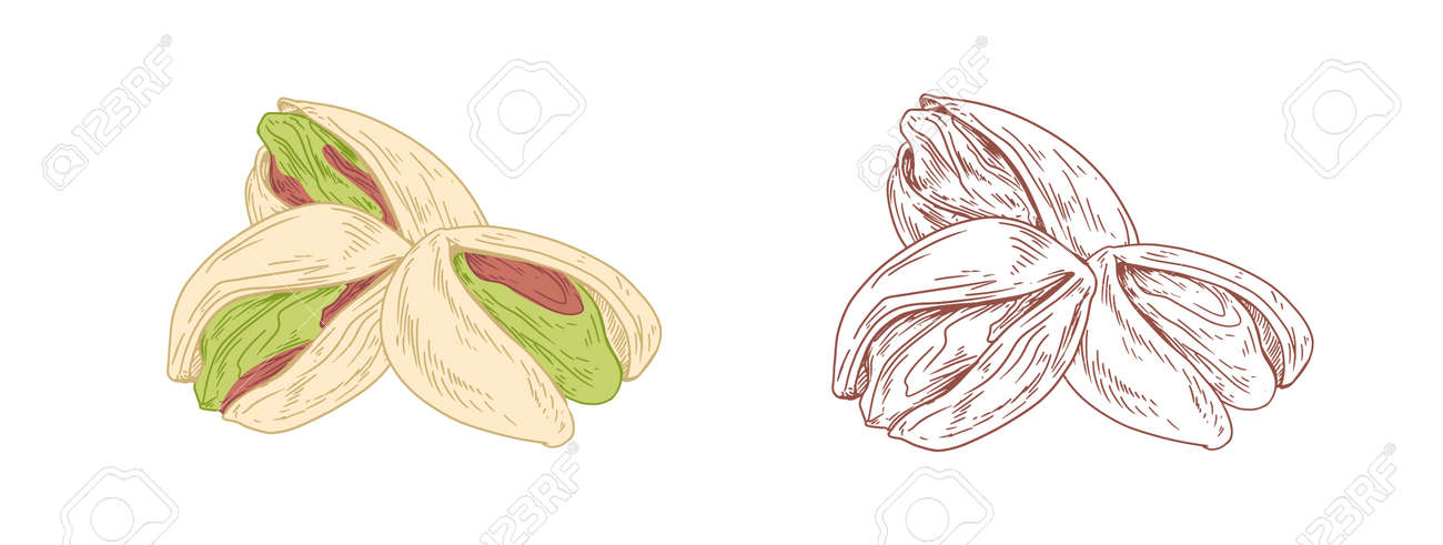 Colored pistachio nuts and unpainted outlined sketch of pistaches fruits. Green kernels in nutshells. Hand-drawn vector illustration in retro style isolated on white background - 163130846