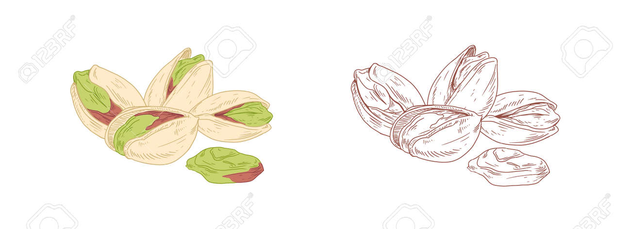 Colored pistachio and unpainted outlined sketch of pistaches. Peeled and unopened nut fruits. Hand-drawn vector illustration isolated on white background - 164636791