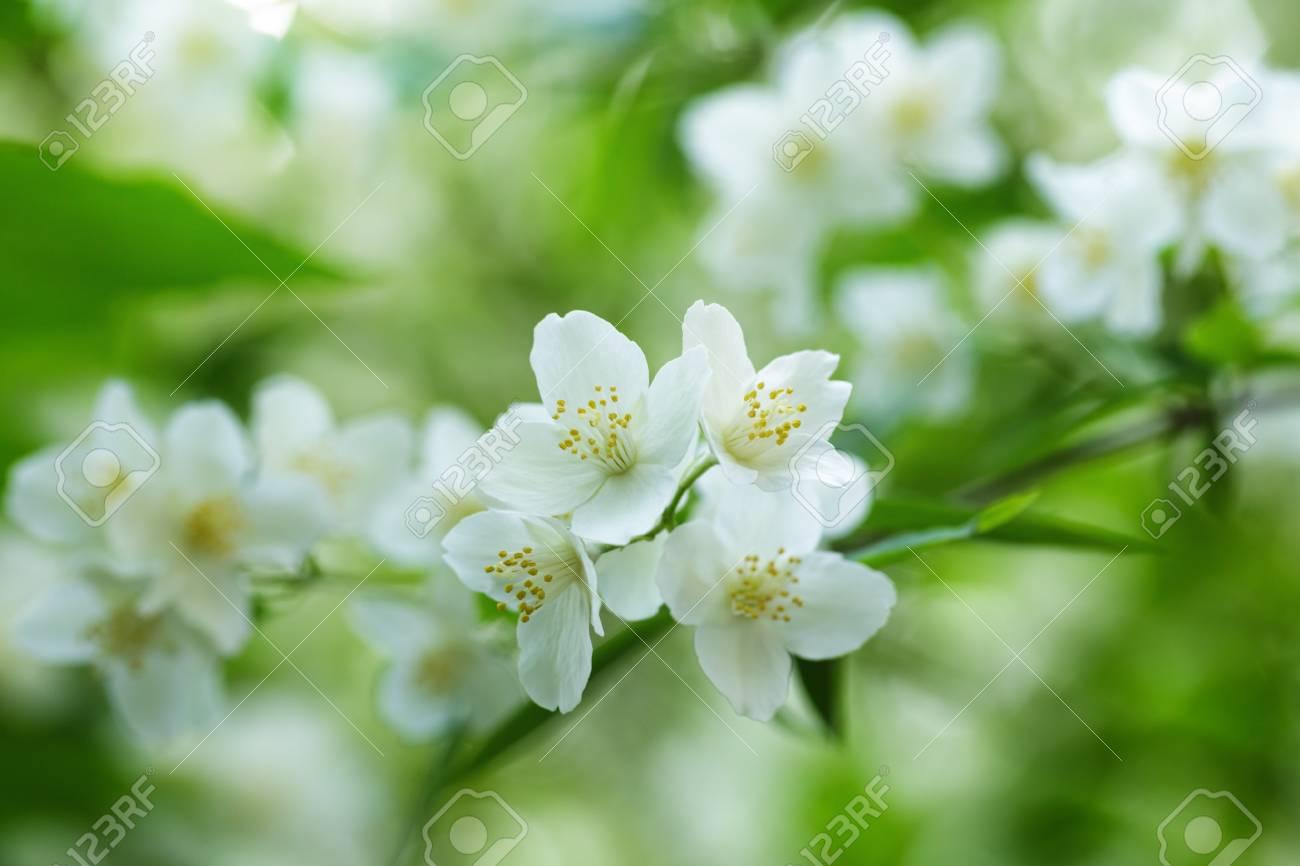 Beautiful jasmine white flowers summer time photo stock photo beautiful jasmine white flowers summer time photo stock photo 29163833 izmirmasajfo Choice Image