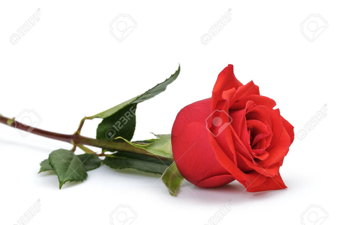 one bright red rose isolated on white background - 51815523