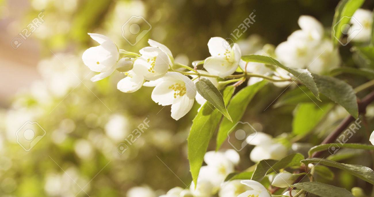 Jasmine White Flowers In Sunset Light 4k Photo Stock Photo Picture
