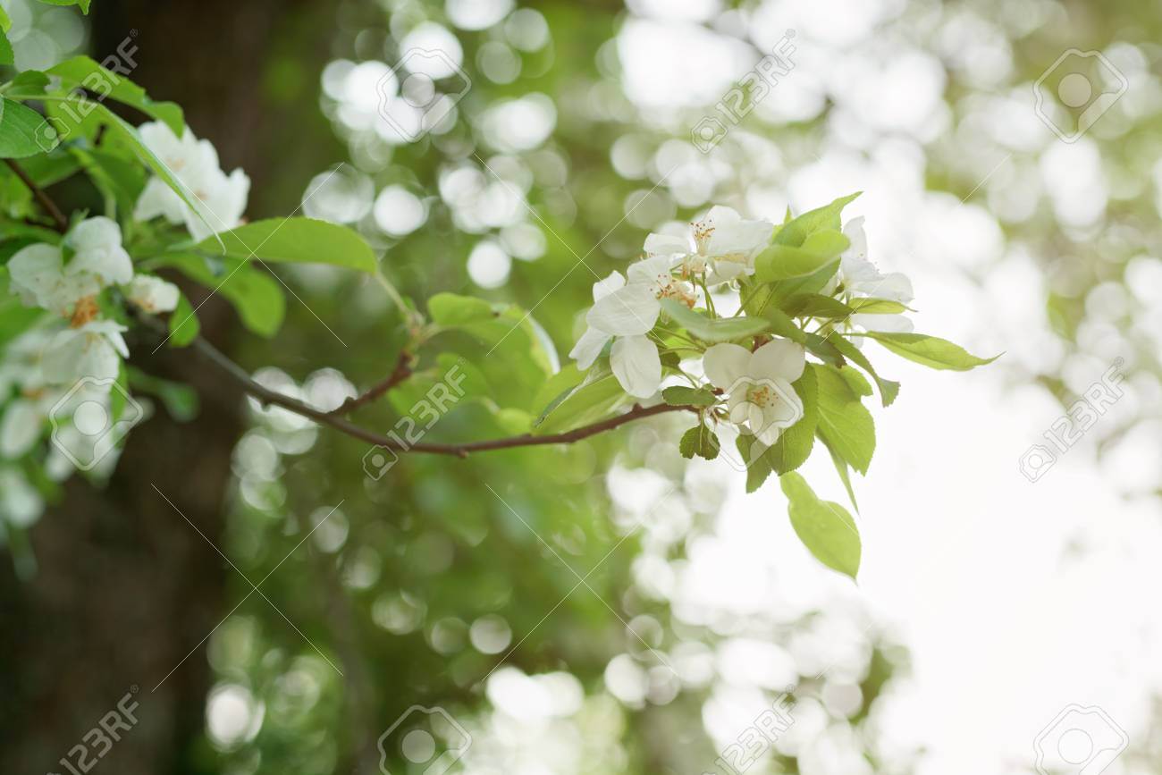 Big Apple Tree In Bloom White Flowers Shallow Focus Stock Photo