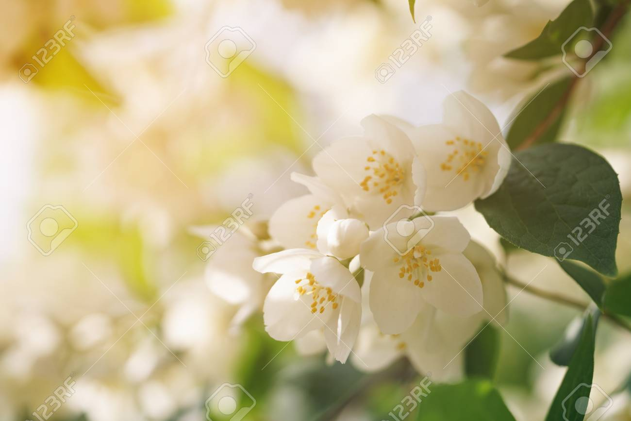 Jasmine Flowers Blossoming On Bush Summertime Photo With Warm Stock Photo Picture And Royalty Free Image Image 59290260