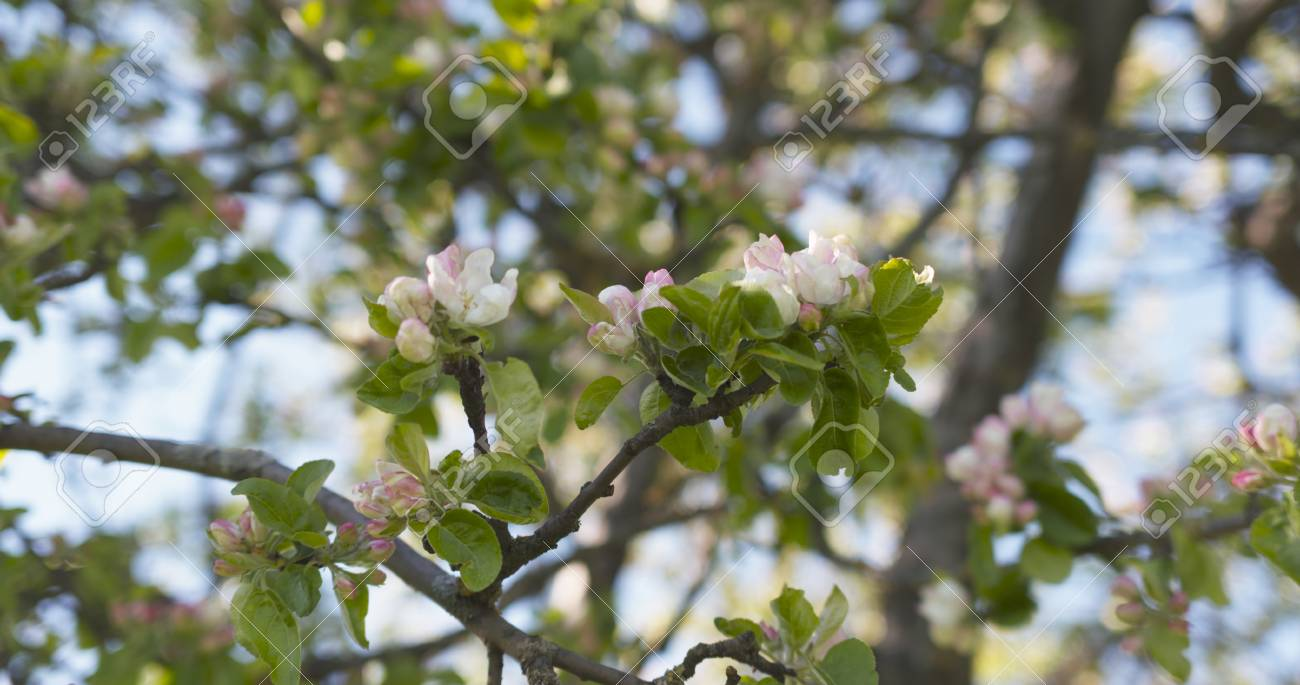 Closeup of light pink flowers on apple tree in sunny day wide closeup of light pink flowers on apple tree in sunny day wide photo stock photo mightylinksfo