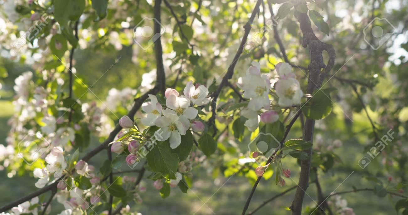 Slow Motion Handheld Pan Shot Of Light Pink Apple Tree Blossom Stock