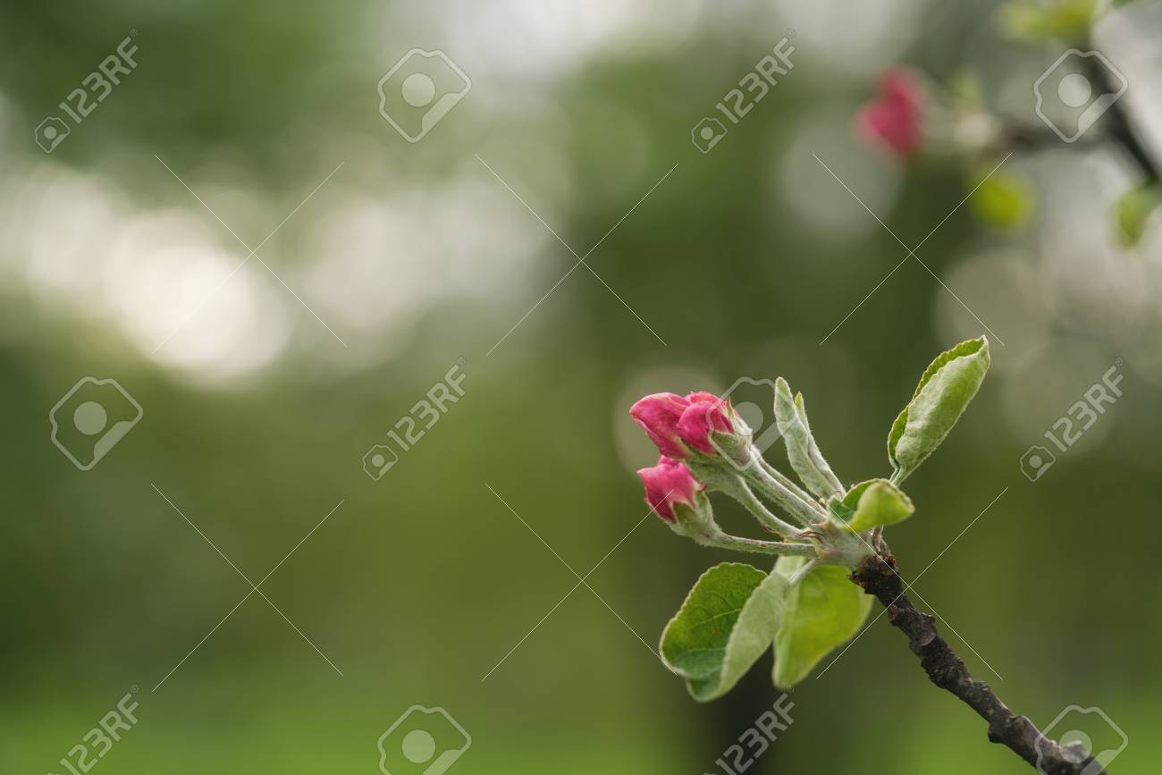 Bright pink flowers on tree in warm summer day stock photo picture bright pink flowers on tree in warm summer day stock photo 96100492 mightylinksfo