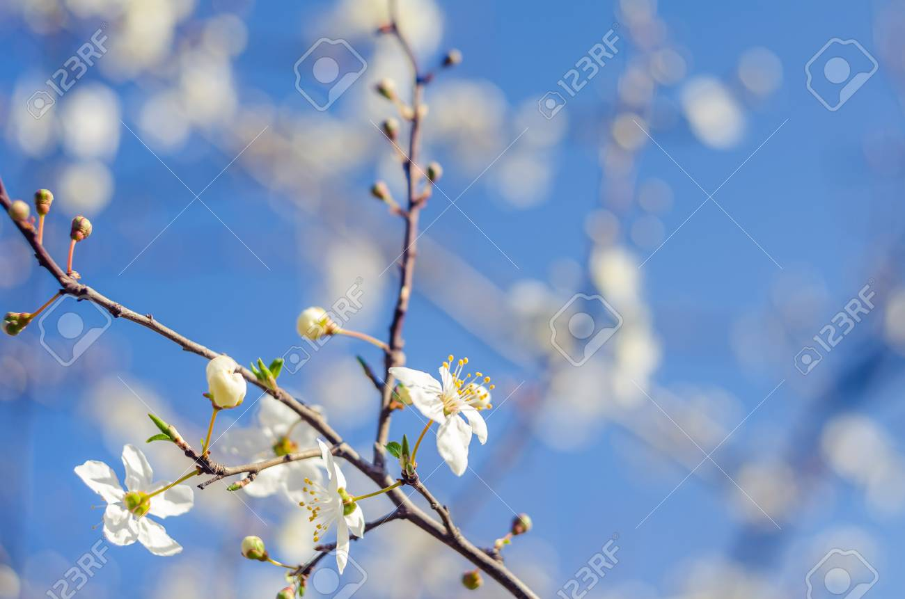 Cheery Blossom Flowers On Spring Day Beauty Flowers Stock Photo